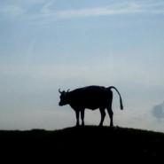 Kuh auf der Haggenegg