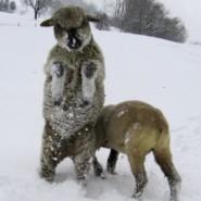 Schafsfreude
